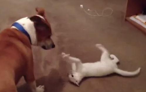でんぐり返しを得意技とする猫 vs. 犬