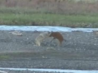 オオカミに襲われるバイソンの子供、そこに巨大な親が現れる