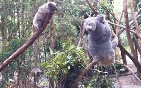 Animal Times 動物動画集アニマルタイムズCategory Archives: コアラ喧嘩するコアラの不思議な鳴き声負傷して気絶したコアラ、懸命な蘇生で息を吹き返す野獣のようなコアラの雄叫び野獣のような唸り声を上げるコアラコアラが家にやってきたコアラがバイクにはねられた!車載カメラがその瞬間を撮影ブタみたいに鳴くコアラ近づいてこれない赤ちゃんコアラに一肌脱ぐ母コアラ