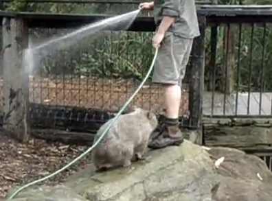 飼育員と遊びたいウォンバット