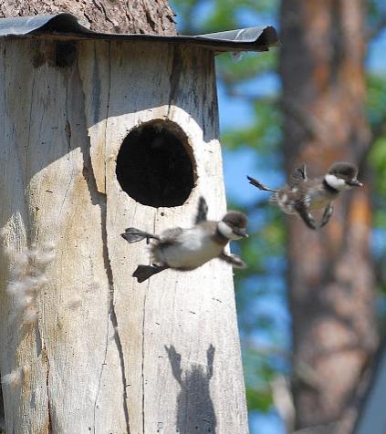 鳥の子供、初めてのフライト!