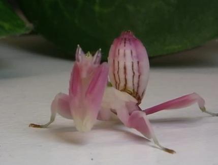 蘭の花のようなカマキリ