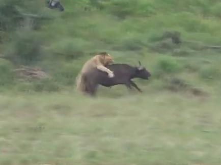 バッファロー vs. ライオン 生き残りをかけた壮絶な闘い
