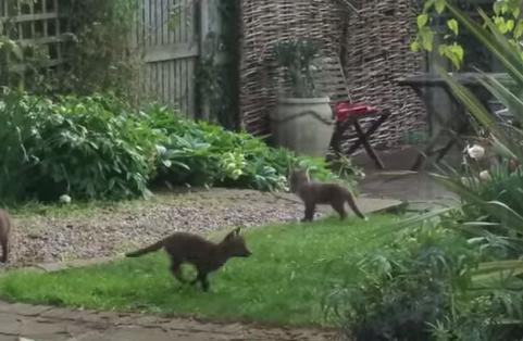 庭で遊ぶキツネの赤ちゃん兄弟