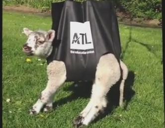関節の悪い子羊を負担無く歩行訓練させる方法