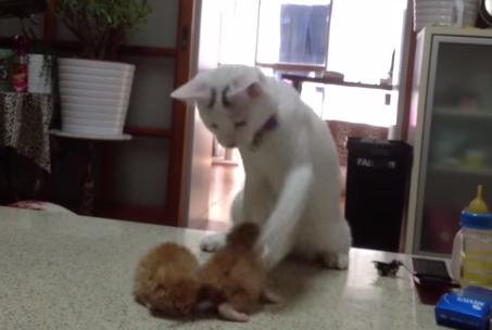 赤ちゃん猫に興奮したニャンコの桃太郎、不思議なダンスを踊り始める