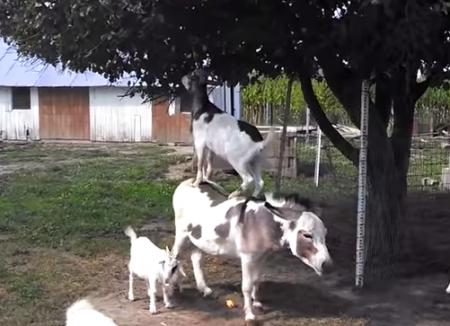 食べる為に進化(?)した山羊