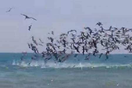 ペリカンの大群、空中から海に猛烈なダイブアタック