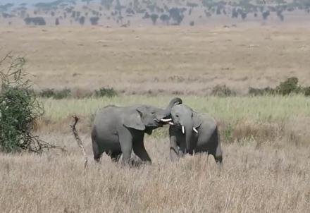 野生動物の宝庫、ンゴロンゴロ、セレンゲティ、マニャーラの映像