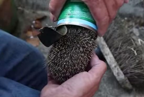 空き缶から出られなくなったハリネズミのレスキュー