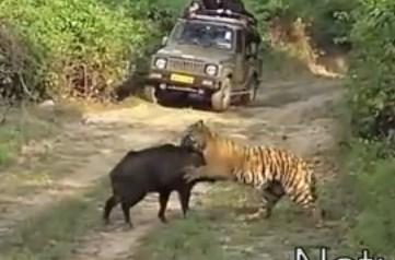 トラ vs. 巨大なイノシシ