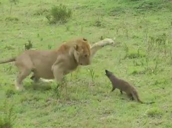 ライオン vs. マングース 戦い