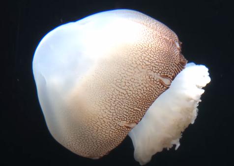 とても神秘的なキャノンボールクラゲの映像