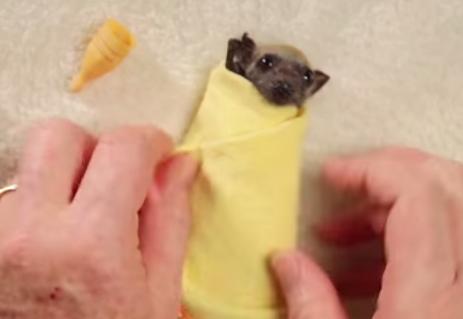 怪我をしたコウモリのカワイイ赤ちゃんを手当する映像