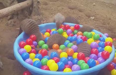 ボールプールで遊ぶマングース
