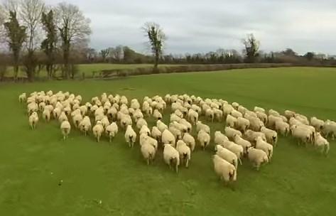 牧羊犬ならぬ牧羊ラジコンヘリ