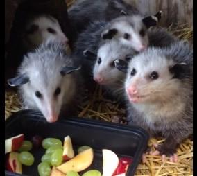 フルーツを食べる6匹のオポッサム