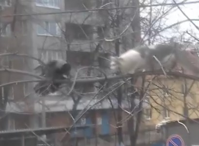 猫 vs. カラス 木の上の戦い