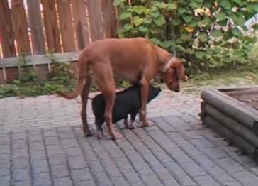 ワンコの下が落ち着く子豚