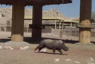 キリンを追いかけ回すサイの子供
