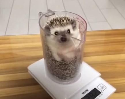 計量カップを使ってハリネズミの体重測定