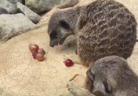 ブドウを独り占めするミーアキャット