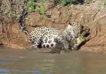 ジャガーが見ずにジャガーが川に飛び込みワニを狩る映像飛び込みワニを狩る映像