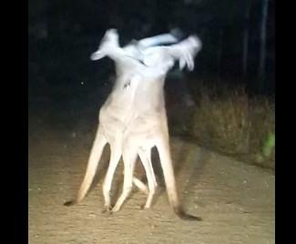 2頭のカンガルー、夜のキックボクシング対決