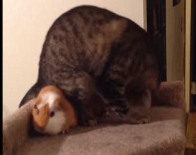 モルモットにベストポジションを取られた猫、壊れる