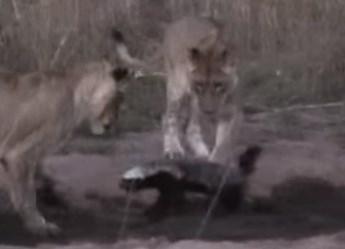 ライオンの群れ vs. ラーテル