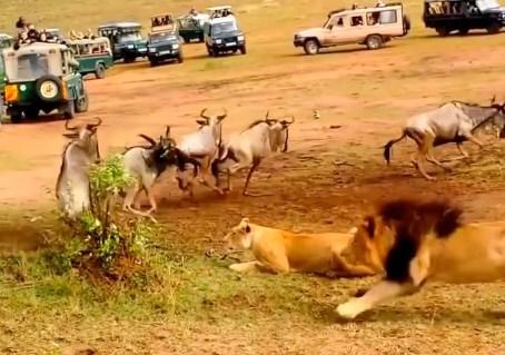 雄ライオンが狩りのスキルが未熟な雌ライオンの前で見せる