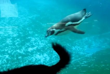 ワンコの尻尾に興味を持ったペンギン
