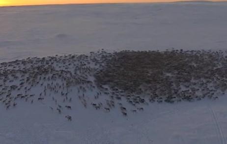 トナカイ群れの大移動をドローンで撮影した映像