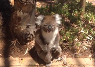 木から引きずり降ろされたコアラが悲痛な叫び声をあげる