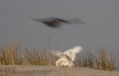 ハヤブサ vs. シロフクロウ