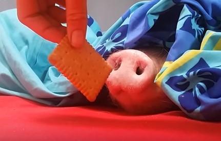 寝ている豚の鼻にビスケットを近づけると…