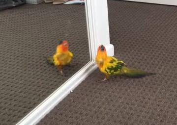 鏡に映る自分の姿を見て不思議な踊りをするインコ