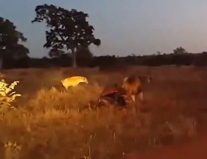 雄ライオンの獲物を狙うハイエナの群れ
