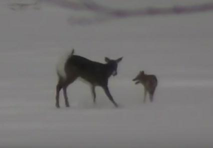 コヨーテ vs. 鹿 雪上で一対一の戦い