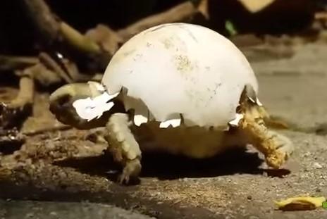 甲羅に卵の殻を乗せて歩く孵化したばかりの亀の赤ちゃん
