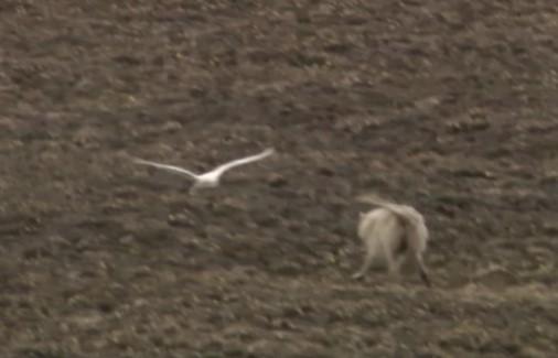 フクロウ vs. オオカミ
