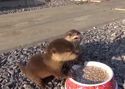 キューキュー言いながらご飯を食べるカワウソの赤ちゃん