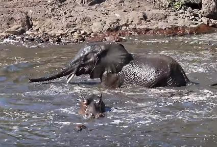 カバと水浴びするゾウがニアミス!