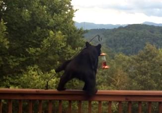 熊が鳥の餌を食べに来た!