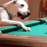 ビリヤード犬