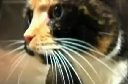 アメリカで2600kmを旅した三毛猫の映像