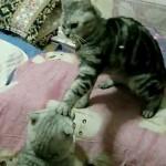 邪魔しに来たネコに後ろ足蹴り連発と猫パンチ!