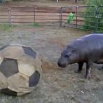 サッカーボールで遊ぶカバ