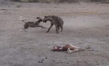 リカオンの獲物を奪うハイエナ