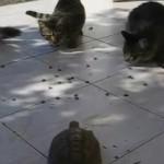 複数の猫を相手に果敢に攻める亀
